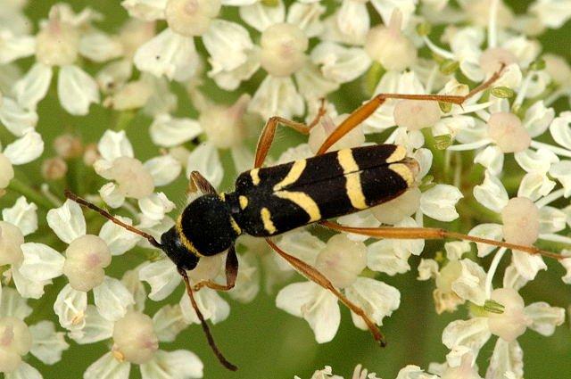 Insecte Noir et Jaune Maison ce Petit Insecte Noir et Jaune